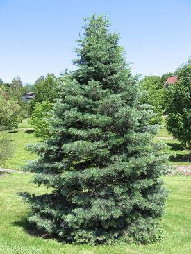 concolor fir