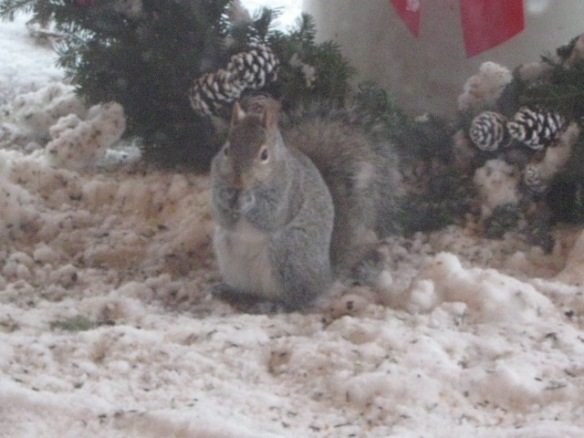 Gray Squirrel